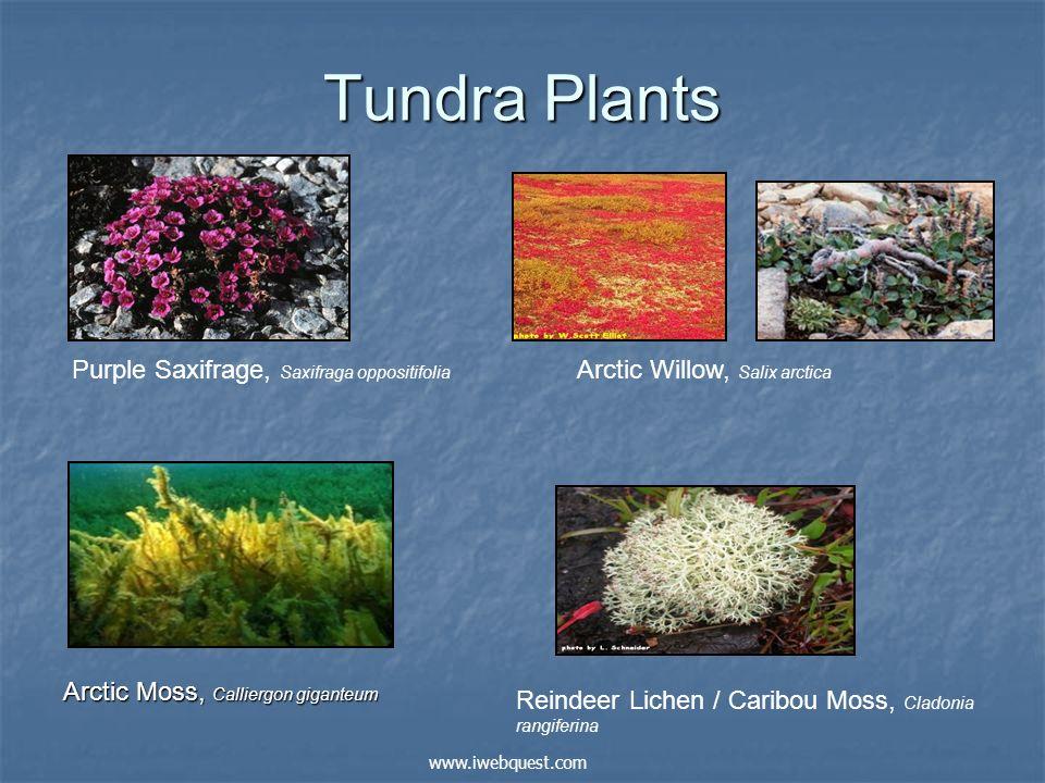 Tundra Plants Arctic Moss, Calliergon giganteum Arctic Willow, Salix arctica Reindeer Lichen / Caribou Moss, Cladonia rangiferina Purple Saxifrage, Sa