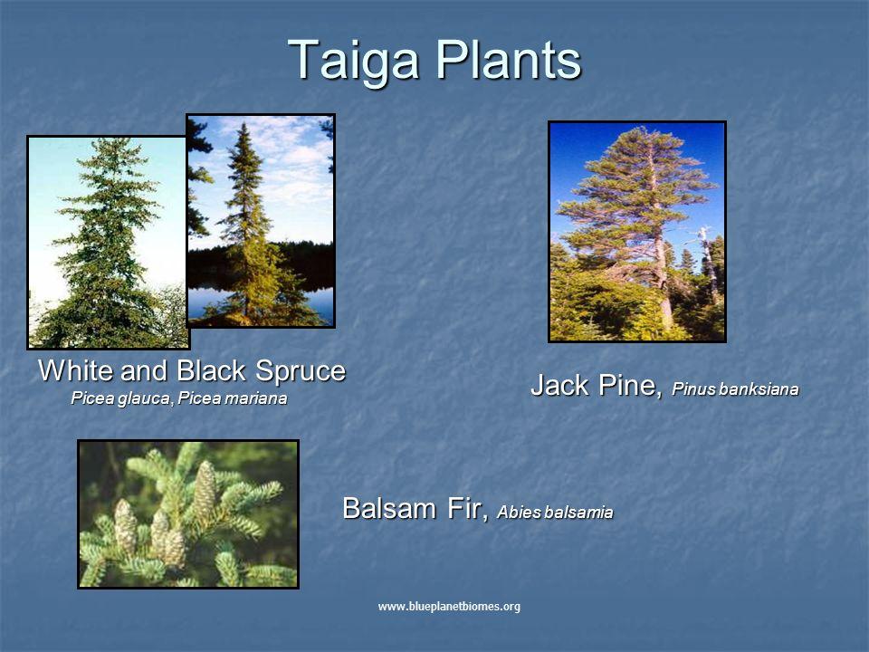 Taiga Plants White and Black Spruce Picea glauca, Picea mariana Jack Pine, Pinus banksiana Balsam Fir, Abies balsamia www.blueplanetbiomes.org