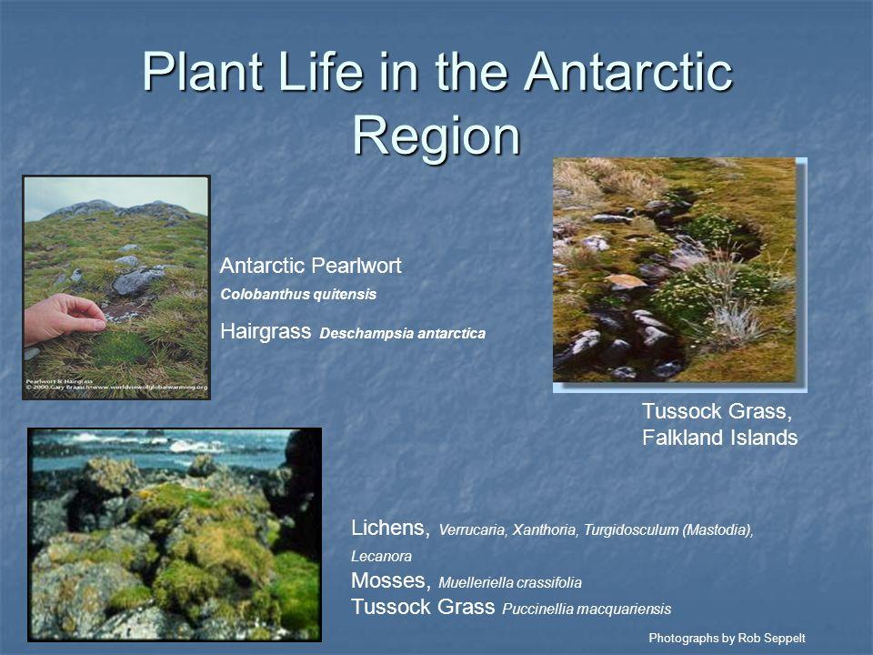 Plant Life in the Antarctic Region Antarctic Pearlwort Colobanthus quitensis Hairgrass Deschampsia antarctica Lichens, Verrucaria, Xanthoria, Turgidos