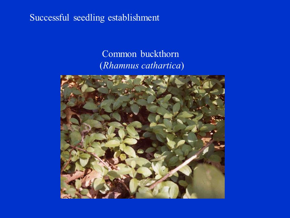 Successful seedling establishment Common buckthorn (Rhamnus cathartica)