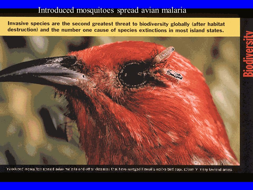 Introduced mosquitoes spread avian malaria