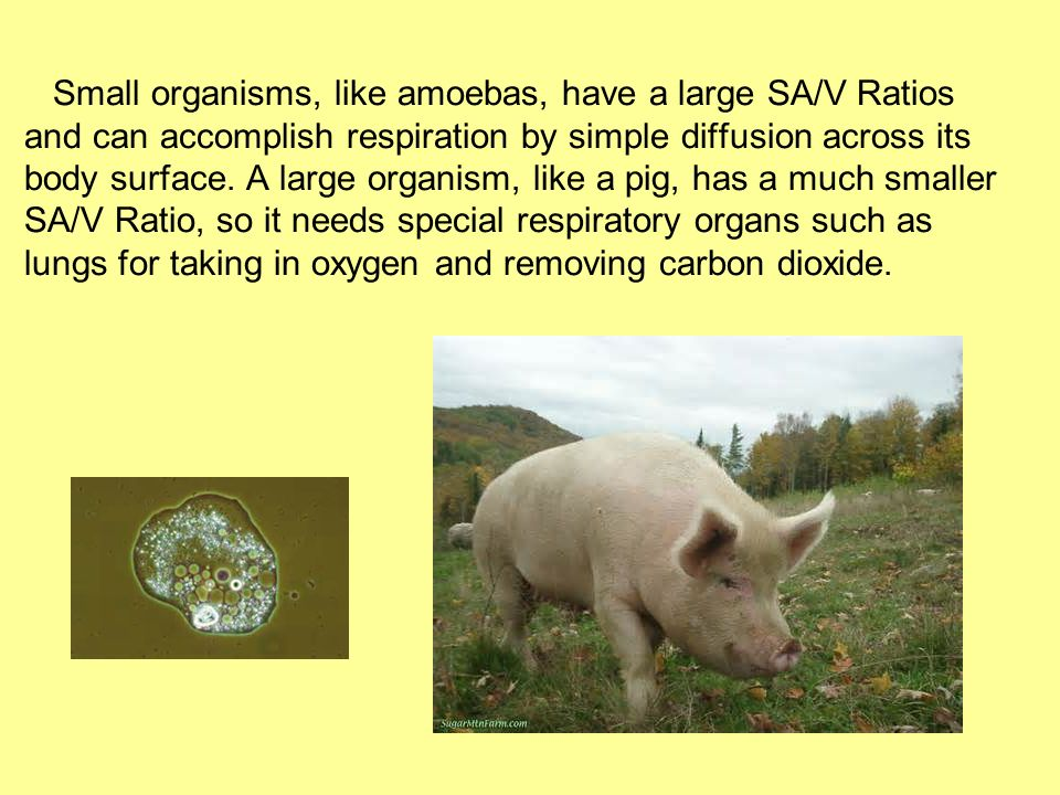 Small organisms, like amoebas, have a large SA/V Ratios and can accomplish respiration by simple diffusion across its body surface.