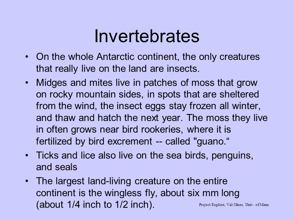 Invertebrates On the whole Antarctic continent, the only creatures that really live on the land are insects. Midges and mites live in patches of moss
