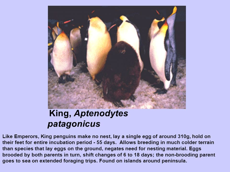 King, Aptenodytes patagonicus Like Emperors, King penguins make no nest, lay a single egg of around 310g, hold on their feet for entire incubation per