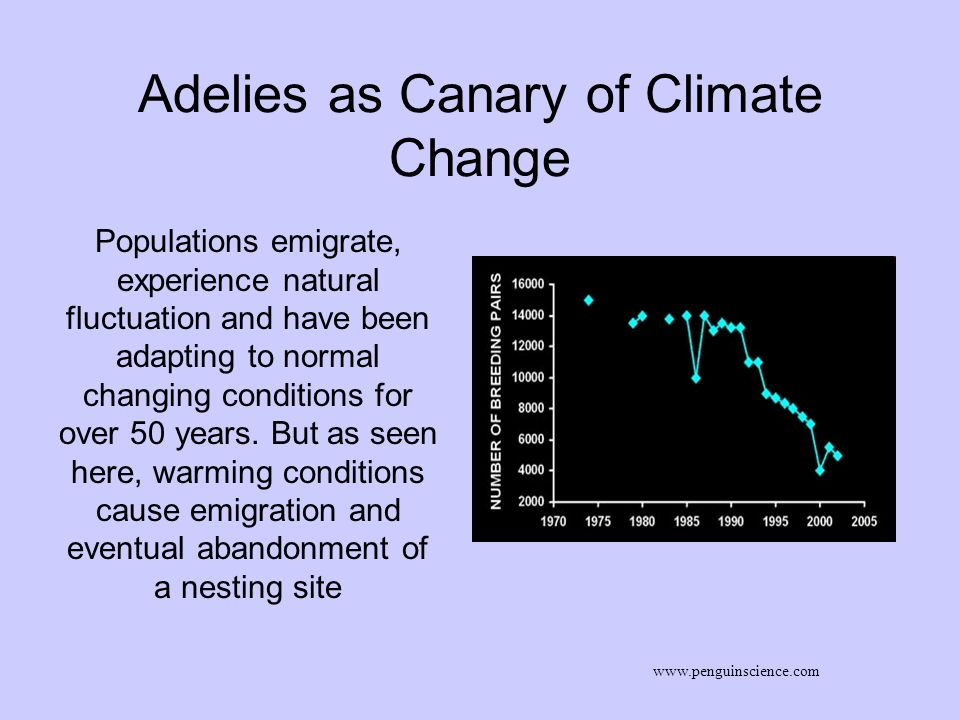 Adelies as Canary of Climate Change www.penguinscience.com Populations emigrate, experience natural fluctuation and have been adapting to normal chang