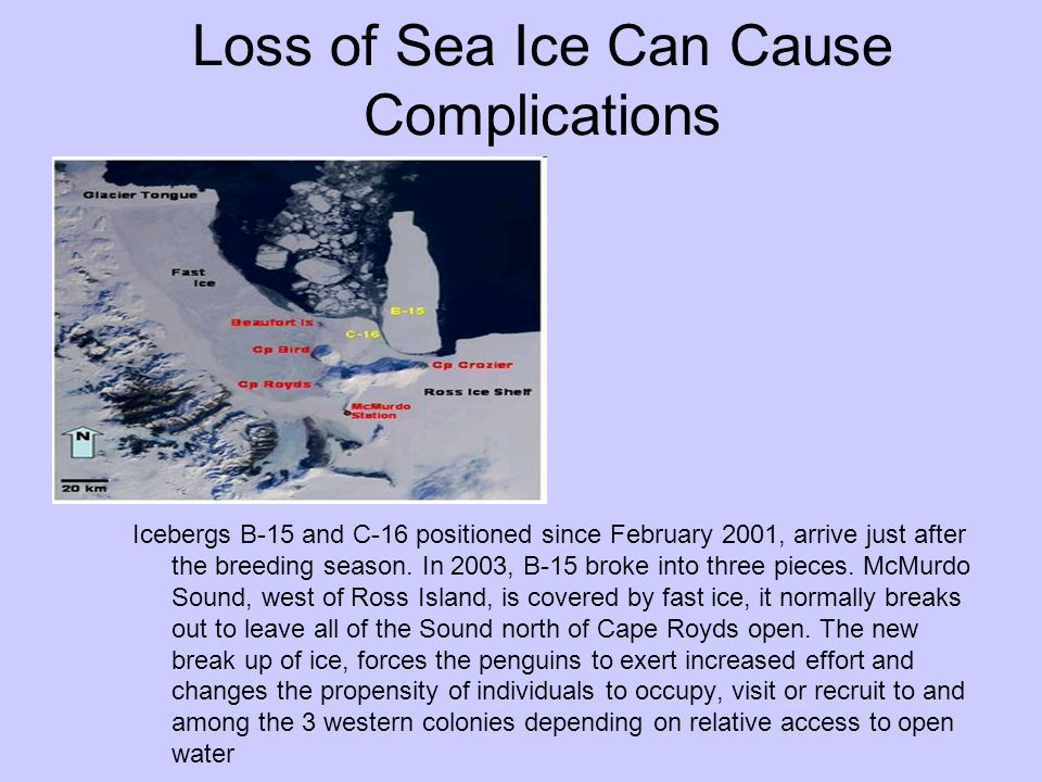 Loss of Sea Ice Can Cause Complications Icebergs B-15 and C-16 positioned since February 2001, arrive just after the breeding season. In 2003, B-15 br