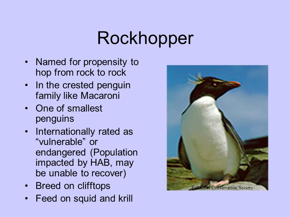 Rockhopper Named for propensity to hop from rock to rock In the crested penguin family like Macaroni One of smallest penguins Internationally rated as