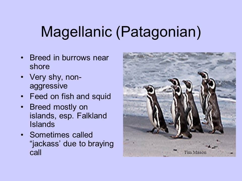Magellanic (Patagonian) Breed in burrows near shore Very shy, non- aggressive Feed on fish and squid Breed mostly on islands, esp. Falkland Islands So