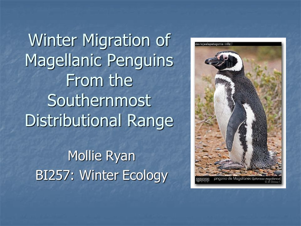 Winter Migration of Magellanic Penguins From the Southernmost Distributional Range Mollie Ryan BI257: Winter Ecology