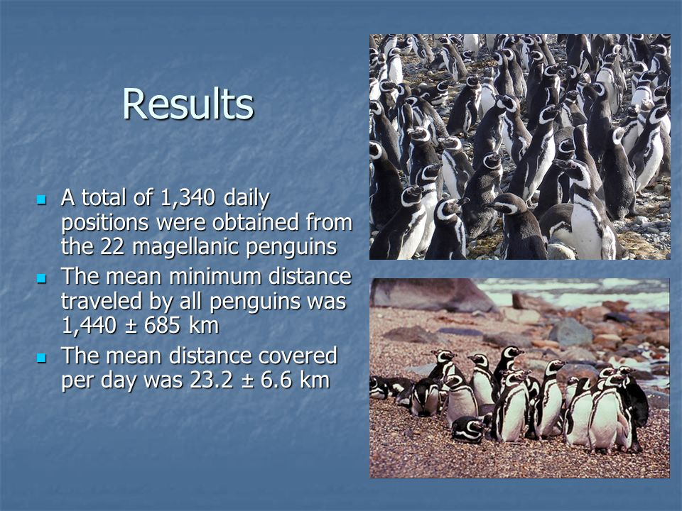 Results A total of 1,340 daily positions were obtained from the 22 magellanic penguins A total of 1,340 daily positions were obtained from the 22 magellanic penguins The mean minimum distance traveled by all penguins was 1,440 ± 685 km The mean minimum distance traveled by all penguins was 1,440 ± 685 km The mean distance covered per day was 23.2 ± 6.6 km The mean distance covered per day was 23.2 ± 6.6 km