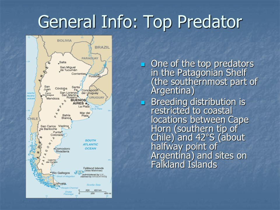 General Info: Top Predator One of the top predators in the Patagonian Shelf (the southernmost part of Argentina) One of the top predators in the Patagonian Shelf (the southernmost part of Argentina) Breeding distribution is restricted to coastal locations between Cape Horn (southern tip of Chile) and 42°S (about halfway point of Argentina) and sites on Falkland Islands Breeding distribution is restricted to coastal locations between Cape Horn (southern tip of Chile) and 42°S (about halfway point of Argentina) and sites on Falkland Islands