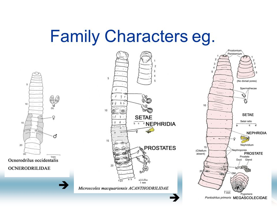 Family Classification 4 Lee (1959) – simplifies by putting all Octochaetinae in Acanthodrilinae.