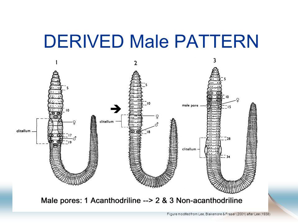 DERIVED Setae PATTERN Setae Lumbricine (8) Non-lumbricine (>8 )