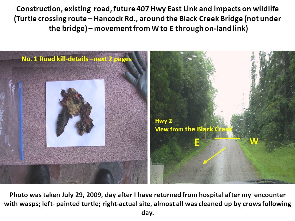 Construction, existing road, future 407 Hwy East Link and impacts on wildlife (Turtle crossing route – Hancock Rd., around the Black Creek Bridge (not under the bridge) – movement from W to E through on-land link) Photo was taken July 29, 2009, day after I have returned from hospital after my encounter with wasps; left- painted turtle; right-actual site, almost all was cleaned up by crows following day.