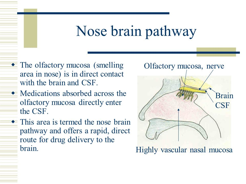 Nose brain pathway The olfactory mucosa (smelling area in nose) is in direct contact with the brain and CSF. Medications absorbed across the olfactory