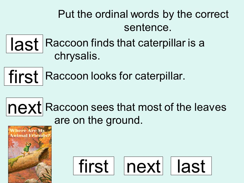 Put the ordinal words by the correct sentence. Raccoon finds that caterpillar is a chrysalis. Raccoon looks for caterpillar. Raccoon sees that most of