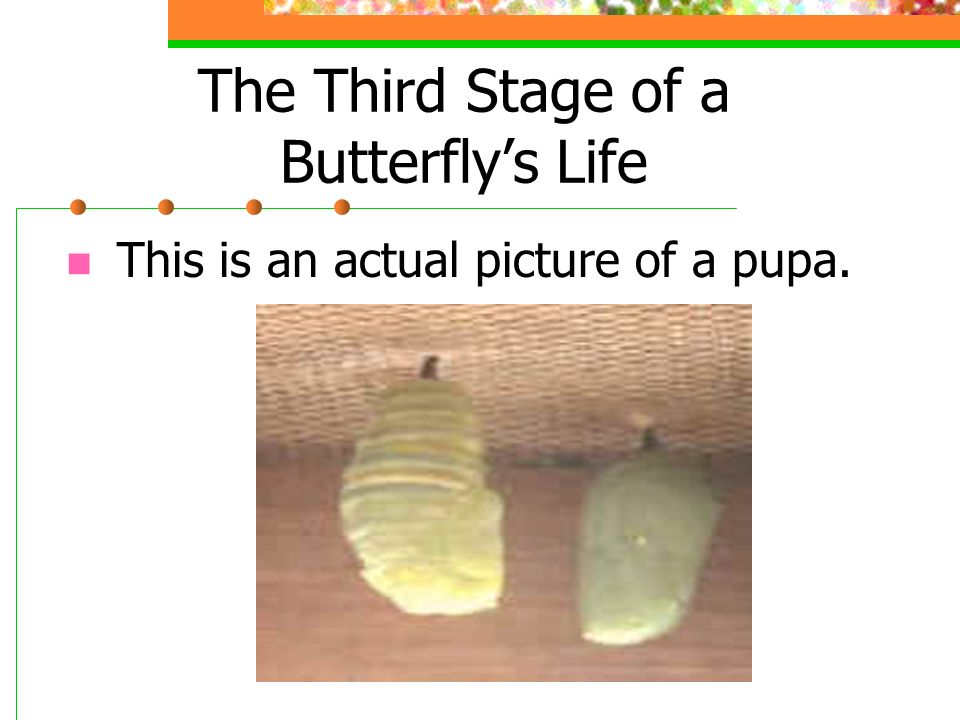 The Third Stage of a Butterflys Life The chrysalis or pupa is the hard covering formed around the larva. Inside this covering, the pupa changes