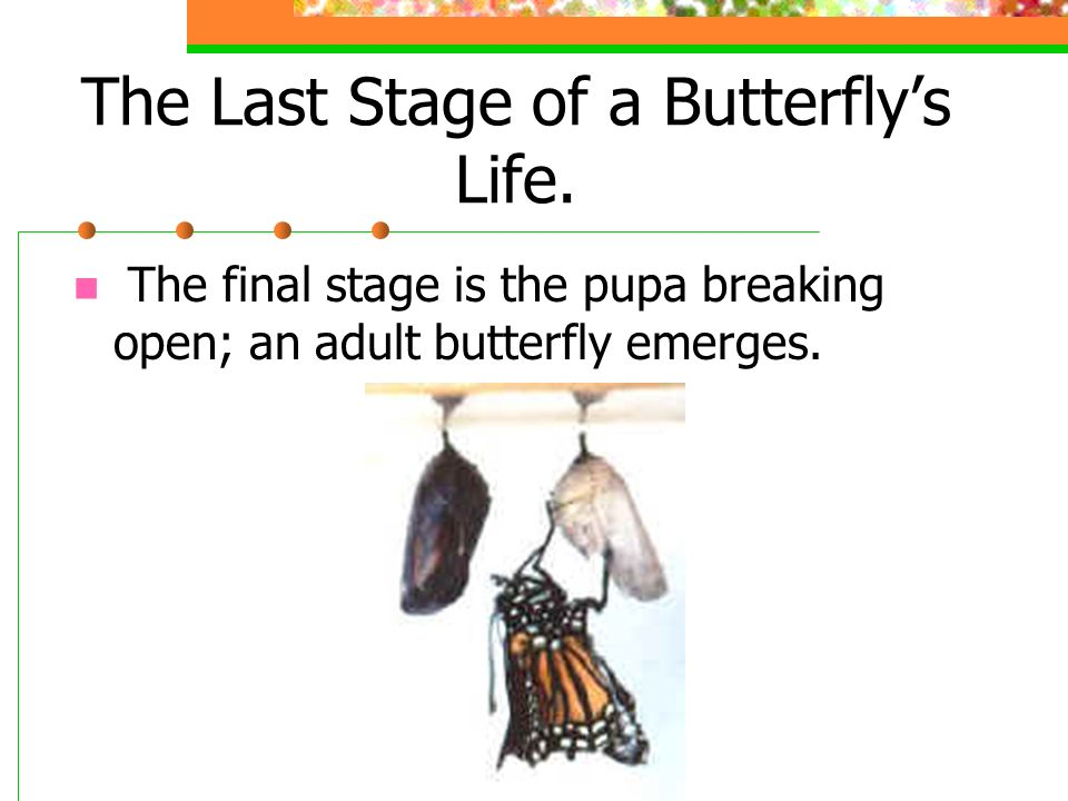 The Third Stage of a Butterflys Life This is an actual picture of a pupa.