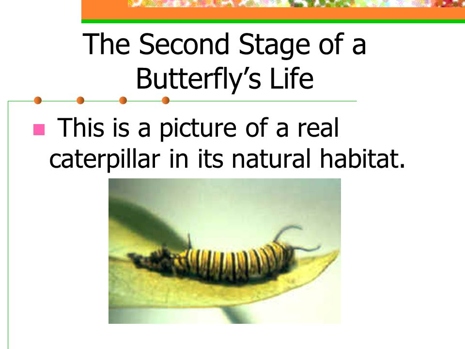 The Second Stage of a Butterflys Life The second stage is the larva or caterpillar.