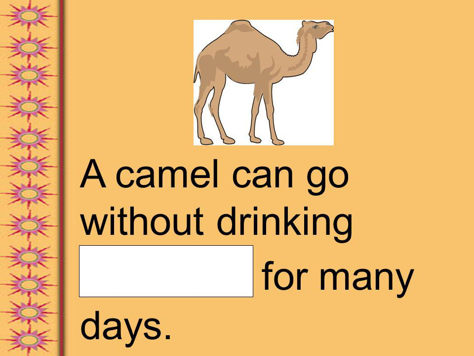 A camel can go without drinking water for many days.