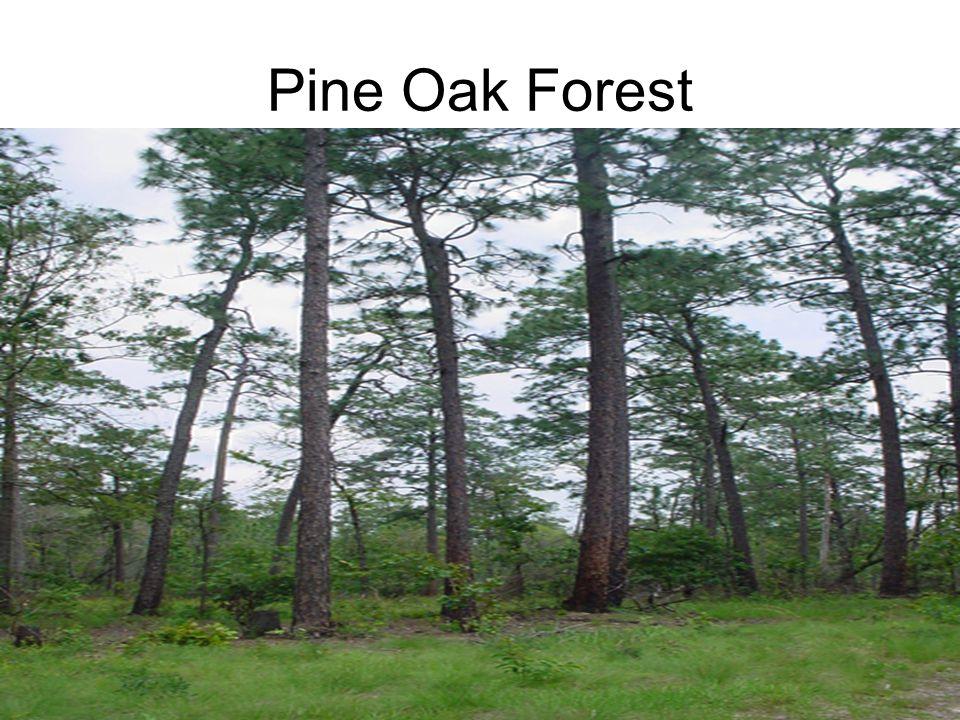 Pine Oak Forest