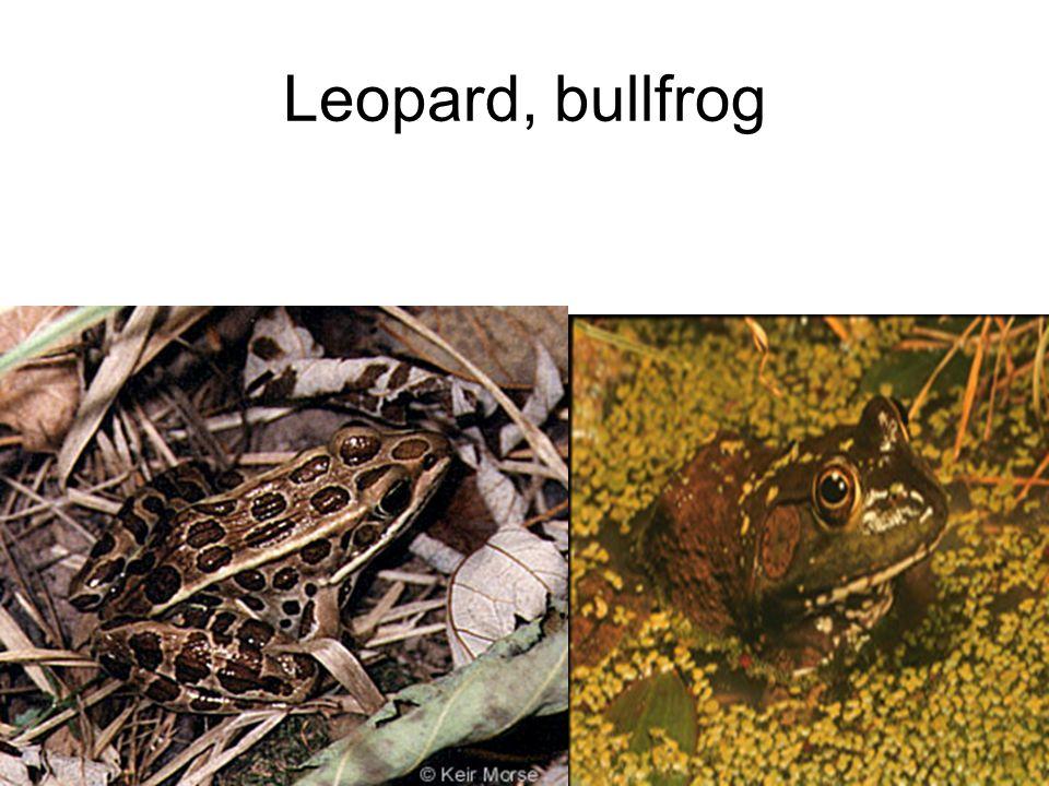 Leopard, bullfrog