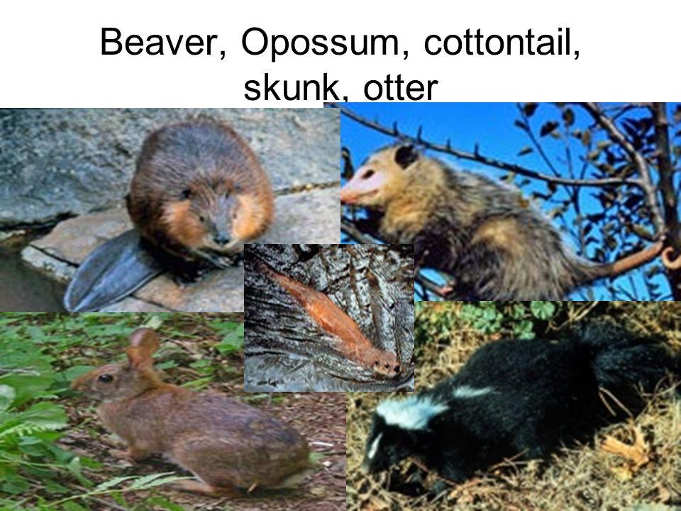 Beaver, Opossum, cottontail, skunk, otter