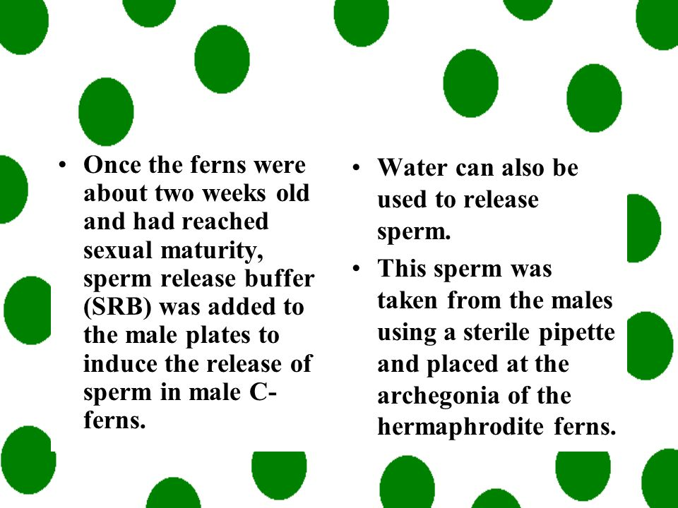 C-ferns are a homosporous plant, meaning that a single spore can become male or hermaphrodite depending on climate and the pheromone, antheridiogen. B