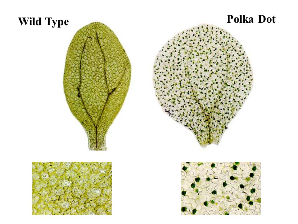 What is a polka dot C-fern? The polka dot characteristic is a mutation that was induced using an EMS mutagen. The chloroplasts clump together in the f