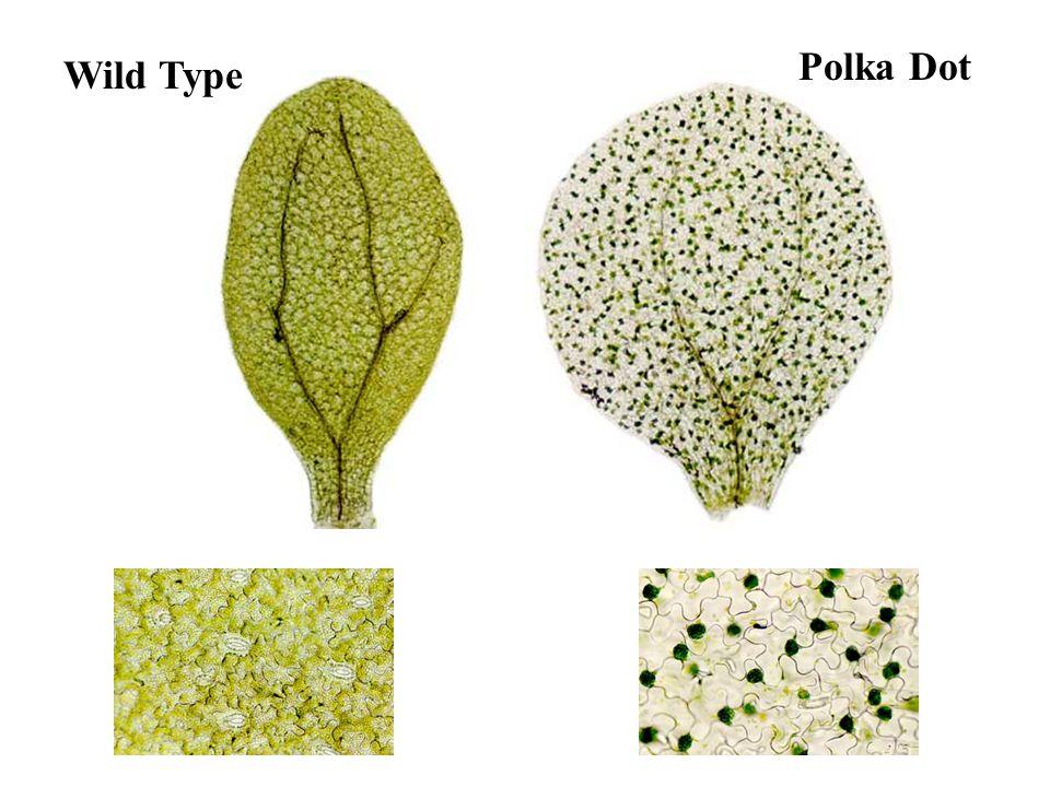 Wild Type Polka Dot