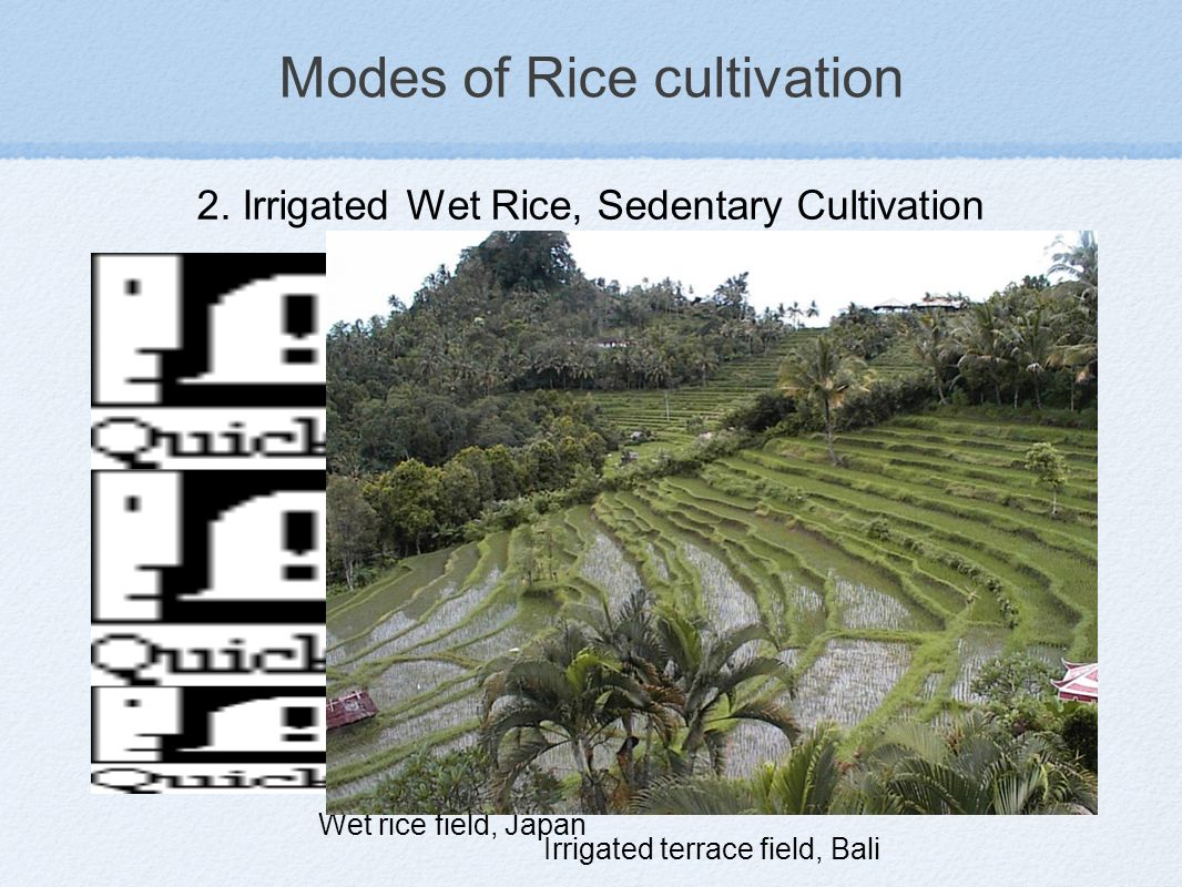 Modes of Rice cultivation Two modes rice cultivation: Dry shifting vs Permanent irrigated, are generally assumed to contrast very sharply 1.