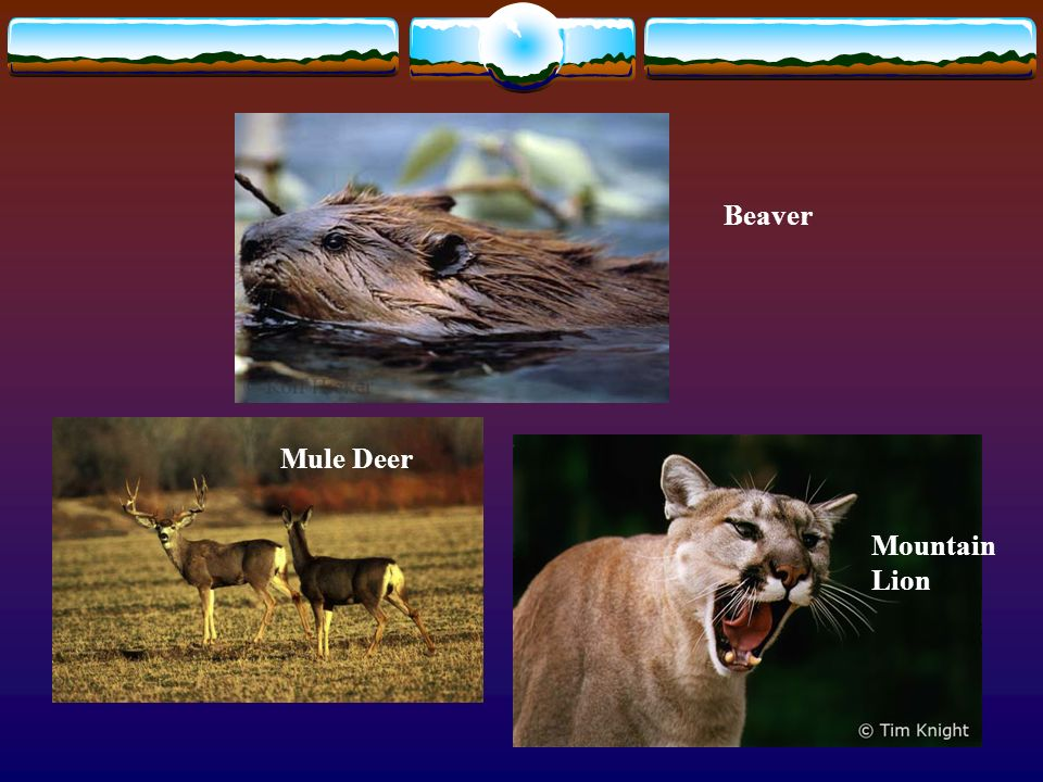 Beaver Mountain Lion Mule Deer