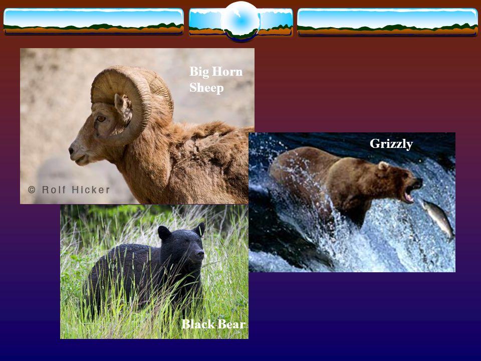 Big Horn Sheep Grizzly Black Bear