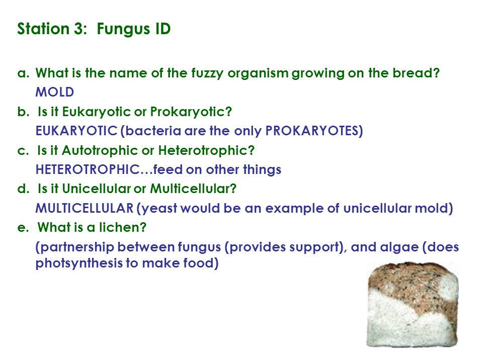 Station 3: Fungus ID a.What is the name of the fuzzy organism growing on the bread.