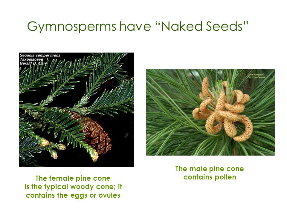Gymnosperms have Naked Seeds The female pine cone is the typical woody cone; it contains the eggs or ovules The male pine cone contains pollen