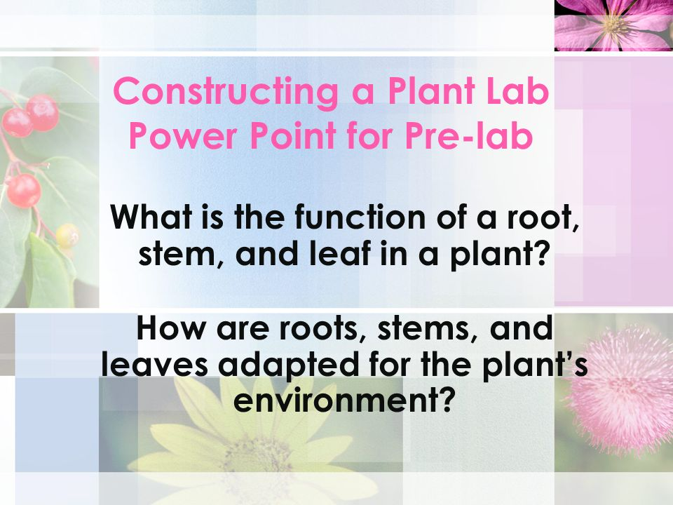 Constructing a Plant Lab Power Point for Pre-lab What is the function of a root, stem, and leaf in a plant? How are roots, stems, and leaves adapted f