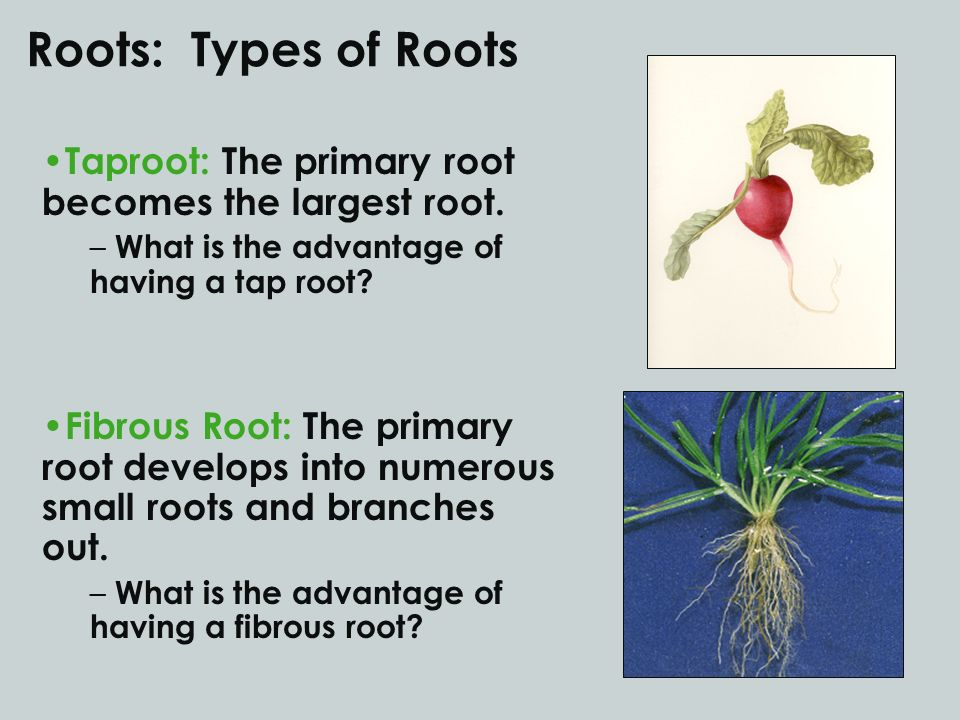 Roots: Types of Roots Taproot: The primary root becomes the largest root. – What is the advantage of having a tap root? Fibrous Root: The primary root