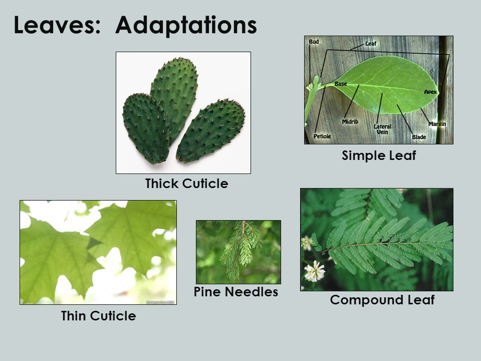 Leaves: Adaptations Simple Leaf Compound Leaf Thick Cuticle Thin Cuticle Pine Needles