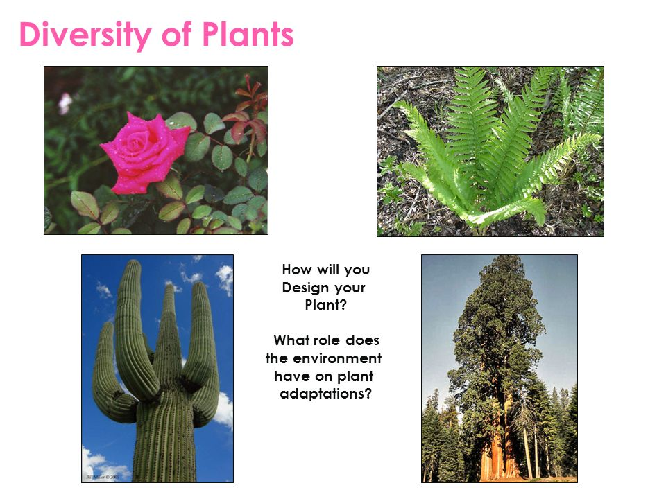 Diversity of Plants How will you Design your Plant? What role does the environment have on plant adaptations?