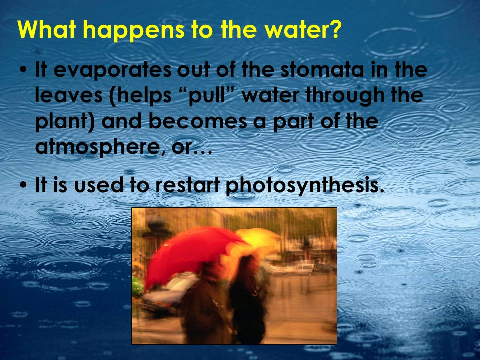 What happens to the water? It evaporates out of the stomata in the leaves (helps pull water through the plant) and becomes a part of the atmosphere, o