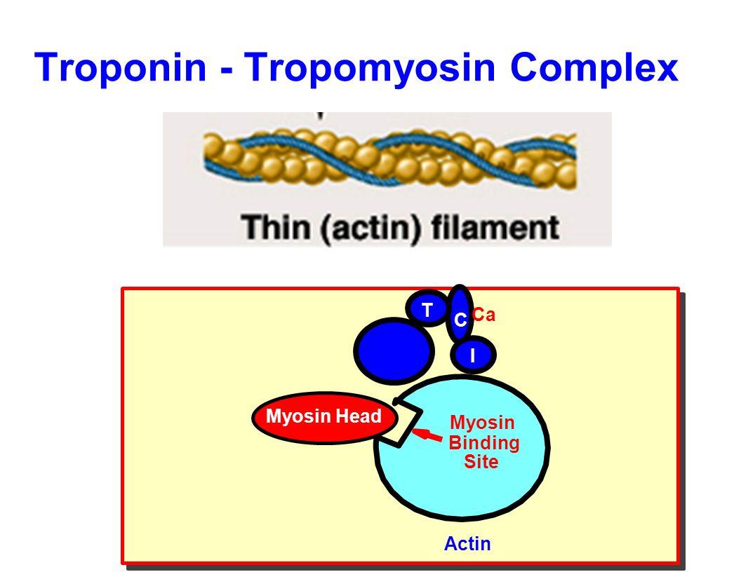 Troponin - Tropomyosin Complex Myosin Head Myosin Binding Site Actin T C I Ca