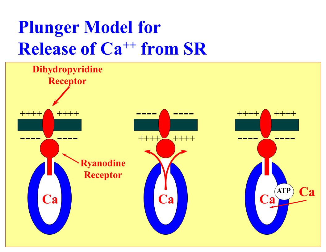 Plunger Model for Release of Ca ++ from SR Ca ++++ ---- Ca ++++ ---- Ca ++++ ---- ATP Ca Dihydropyridine Receptor Ryanodine Receptor