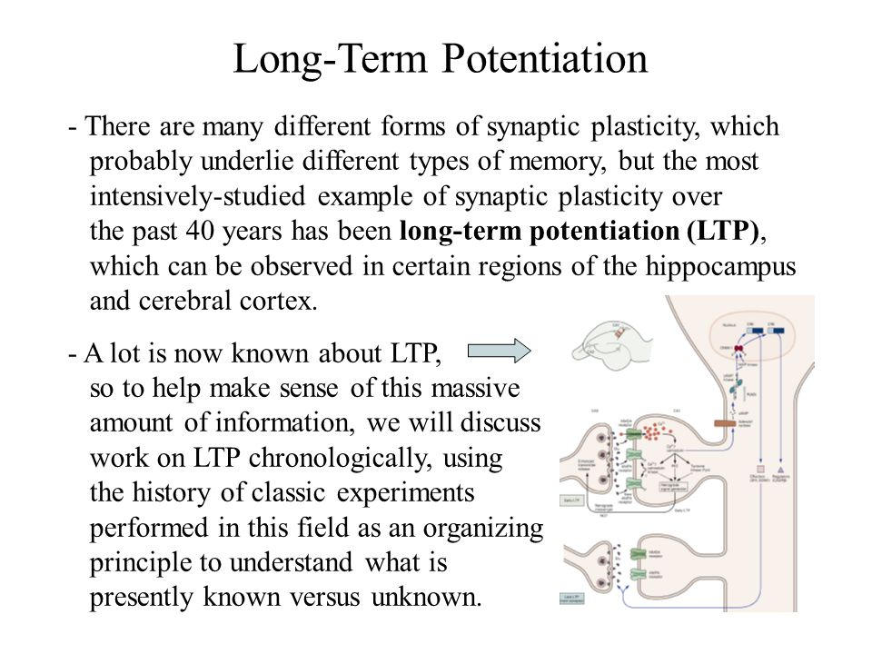 The Discovery of LTP - Terje Lomo & Tim Bliss first described the LTP phenomenon in a 1973 paper that described experiments where they recorded from the dentate gyrus (a part of the hippocampus) in anethestized rabbits.