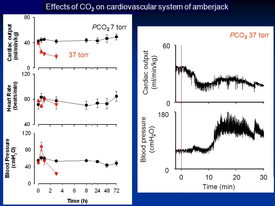 10203040 Cardiac output (ml/min/kg) 0 60 0 180 Blood pressure (cmH 2 O) 1% CO 2 37 torr Effects of CO 2 on cardiovascular system of amberjack PCO 2 7 torr PCO 2 37 torr Time (min) 01020 30