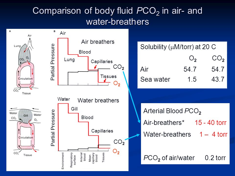 Comparison of body fluid PCO 2 in air- and water-breathers Air breathers Water breathers CO 2 O2O2 O2O2 Air Lung Blood Capillaries Tissues Blood Capillaries Gill Water Partial Pressure Solubility ( M/torr) at 20 C O2O2 CO 2 Air54.7 Sea water1.543.7 Arterial Blood PCO 2 Air-breathers* 15 - 40 torr Water-breathers 1 – 4 torr PCO 2 of air/water 0.2 torr