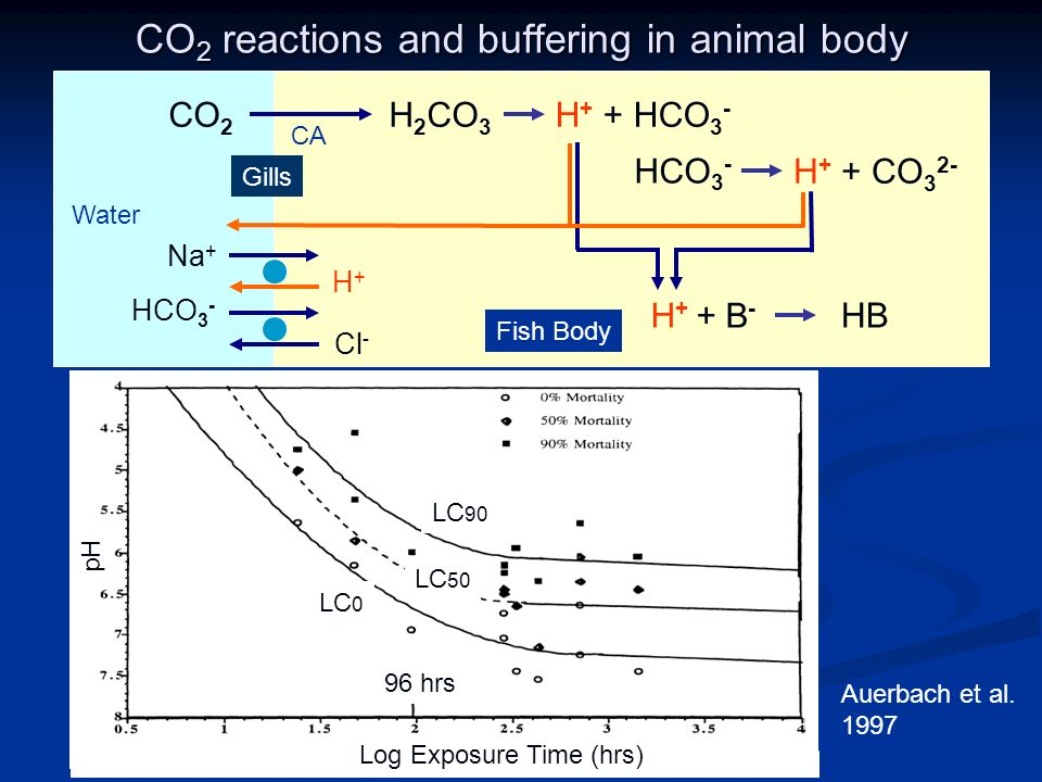 CO 2 reactions and buffering in animal body CO 2 H 2 CO 3 H + + HCO 3 - HCO 3 - H + + CO 3 2- H + + B - HB HCO 3 - Cl - Water Fish Body pH Log Exposure Time (hrs) Auerbach et al.