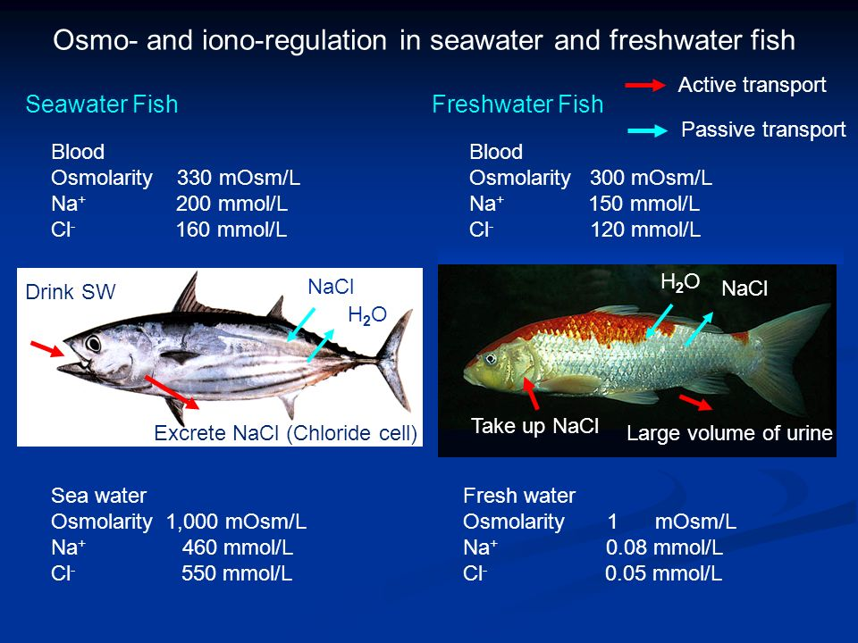 Seawater FishFreshwater Fish Sea water Osmolarity 1,000 mOsm/L Na + 460 mmol/L Cl - 550 mmol/L Blood Osmolarity 330 mOsm/L Na + 200 mmol/L Cl - 160 mmol/L Fresh water Osmolarity 1 mOsm/L Na + 0.08 mmol/L Cl - 0.05 mmol/L Drink SW Excrete NaCl (Chloride cell) Blood Osmolarity 300 mOsm/L Na + 150 mmol/L Cl - 120 mmol/L Osmo- and iono-regulation in seawater and freshwater fish NaCl H2OH2O Take up NaCl Large volume of urine H2OH2O NaCl Active transport Passive transport