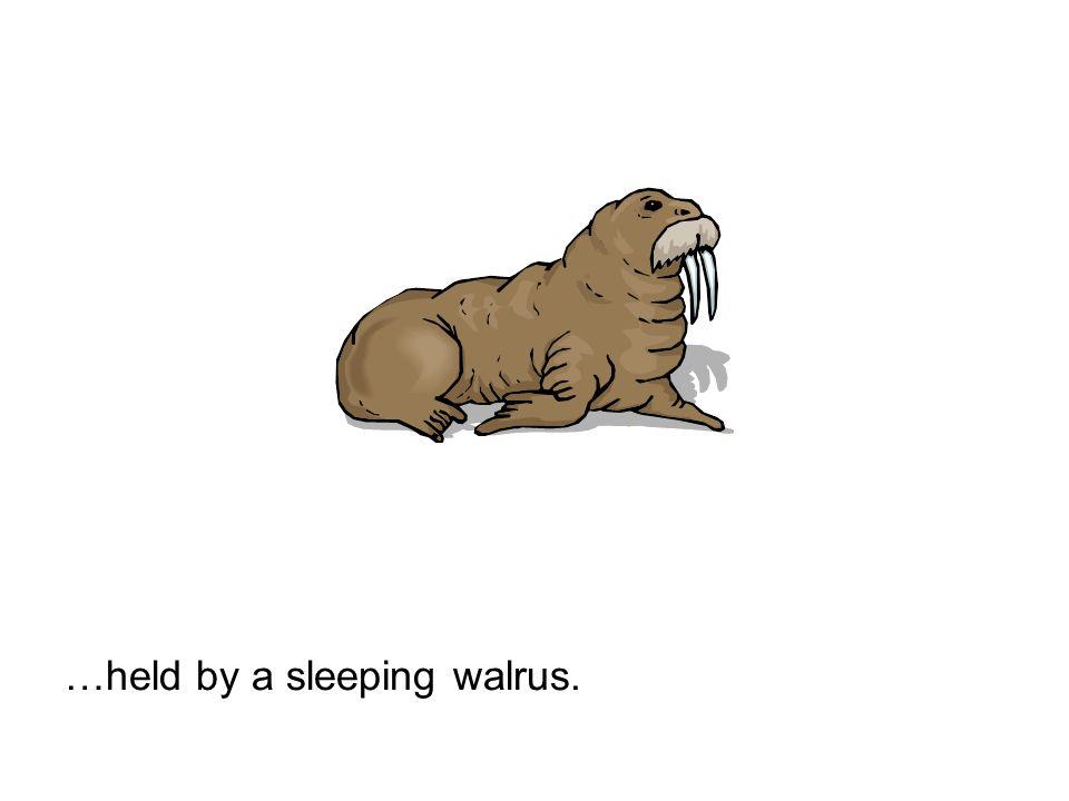 …held by a sleeping walrus.