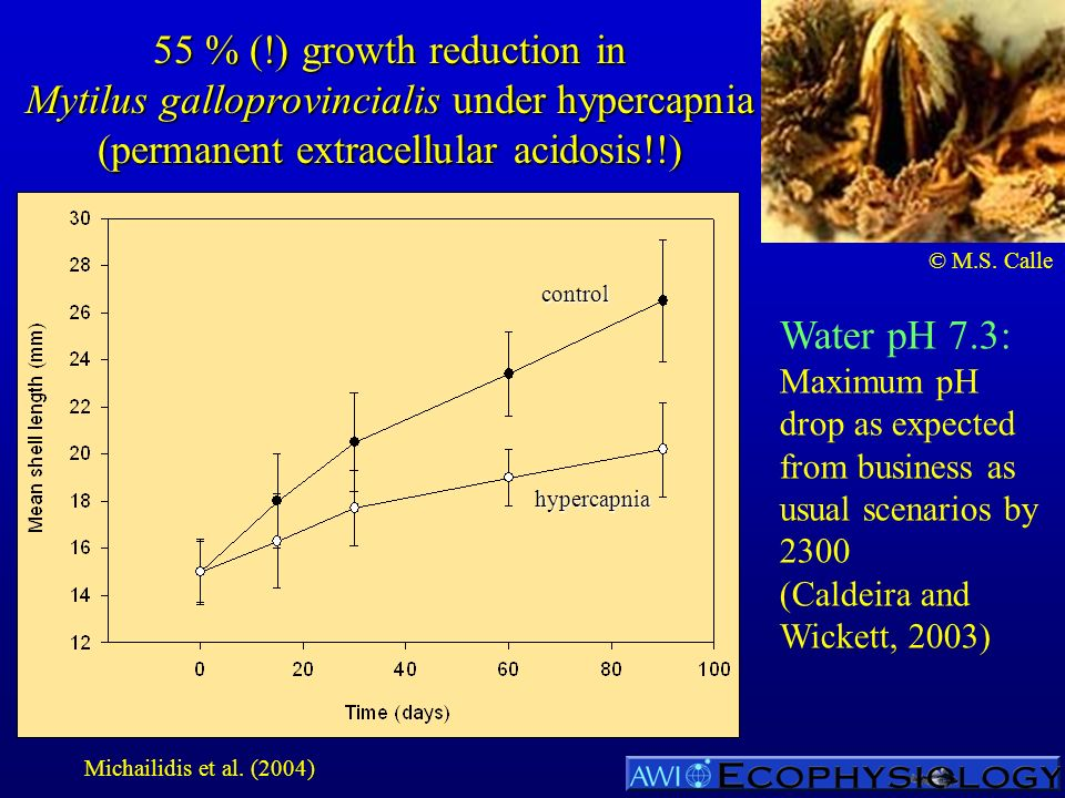 55 % (!) growth reduction in Mytilus galloprovincialis under hypercapnia (permanent extracellular acidosis!!) Water pH 7.3: Maximum pH drop as expected from business as usual scenarios by 2300 (Caldeira and Wickett, 2003) hypercapnia control © M.S.