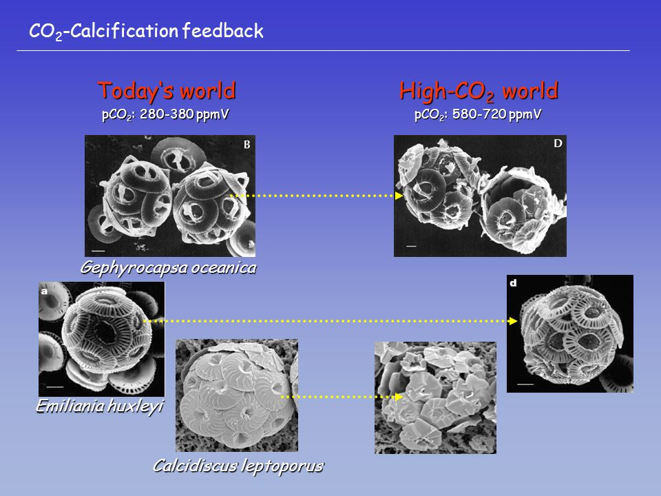 Todays world pCO 2 : 280-380 ppmV High-CO 2 world pCO 2 : 580-720 ppmV Emiliania huxleyi Gephyrocapsa oceanica Calcidiscus leptoporus CO 2 -Calcification feedback